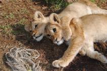 Baby Leons